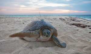 Green Turtle - Tracking
